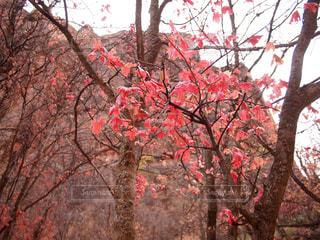 森の中の赤いツリーの写真・画像素材[921929]