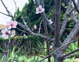 枝に座っているピンクの花の木の写真・画像素材[1043519]