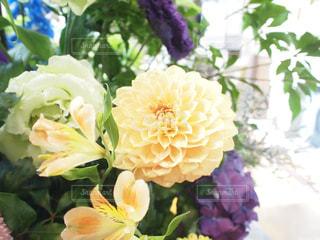 ダリア Dahlia 花のアップの写真・画像素材[1154590]
