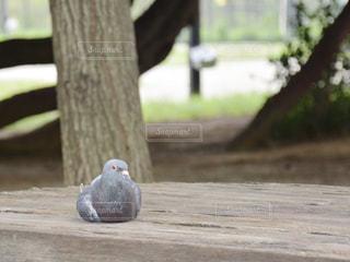 鳩 木製のベンチの上に座っている鳥 ハト はとの写真・画像素材[1295004]