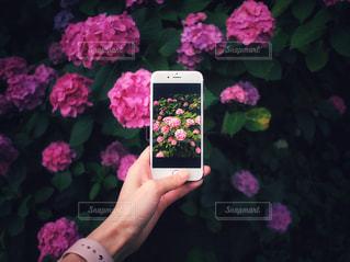スマホ 紫陽花 ピンク 飛鳥山公園の写真・画像素材[2239536]