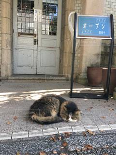 人懐っこい看板猫。の写真・画像素材[833025]