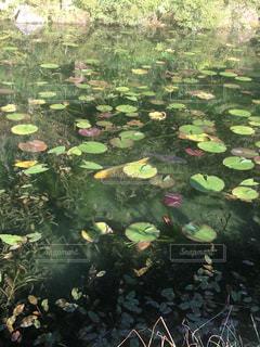 金の鯉の写真・画像素材[833049]