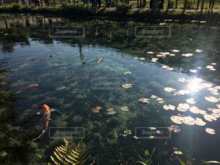 モネの池。の写真・画像素材[833056]
