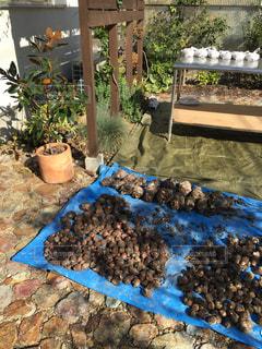 里芋の収穫の写真・画像素材[850510]