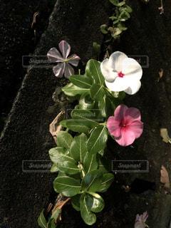 アスファルトに咲く花の写真・画像素材[1465498]