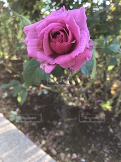 ムラサキのバラの写真・画像素材[1591110]