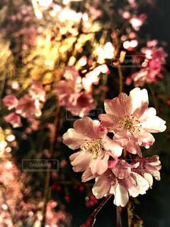桜の写真・画像素材[438319]