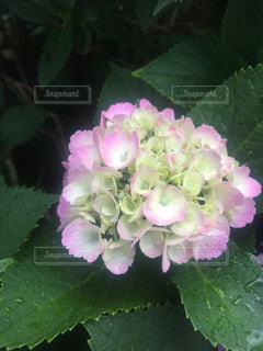 紫陽花の写真・画像素材[1252381]