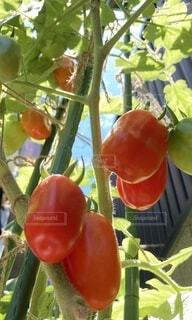 トマトの写真・画像素材[4662991]