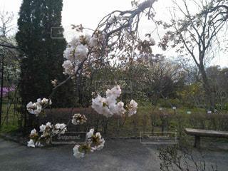 桜の写真・画像素材[416576]