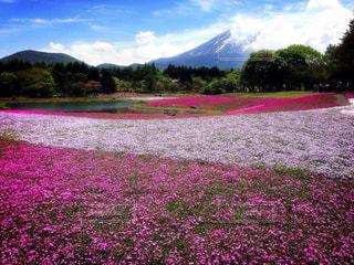 風景,空,花,富士山,花畑,植物,山,芝桜,山梨県