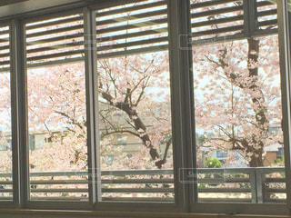 桜の写真・画像素材[520380]