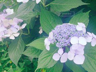 花の写真・画像素材[591108]