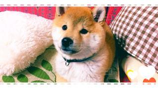 柴犬の写真・画像素材[388737]