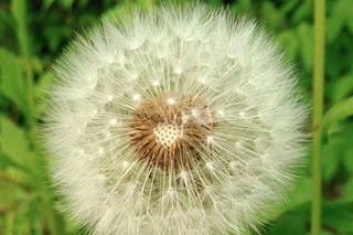 タンポポの綿毛の写真・画像素材[1309547]