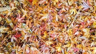 雨に濡れた落葉の写真・画像素材[1745727]