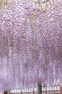 紫の花のグループの写真・画像素材[1800499]