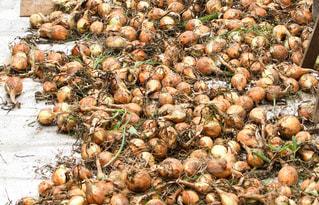 タマネギの収穫の写真・画像素材[1803096]