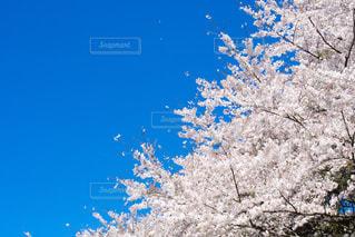 青空に桜の写真・画像素材[2213903]