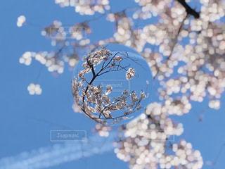 桜の写真・画像素材[423143]