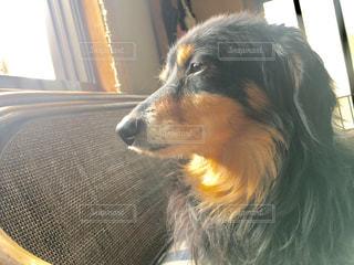 犬の写真・画像素材[509957]
