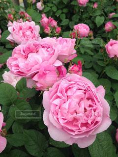 花の写真・画像素材[387540]