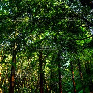 #緑な世界#セコイヤ#癒しの時間#癒しの空間#森林浴#森林浴ヒーリング#森林浴マイナスイオン#森の散策の写真・画像素材[550976]