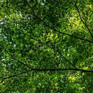 #森#天空の楓#緑の天空#緑一色#癒しの森#癒しの空間#癒しの時間#森林浴#森林浴ヒーリング#森林浴マイナスイオン#癒しの森#癒しの時間の写真・画像素材[553756]