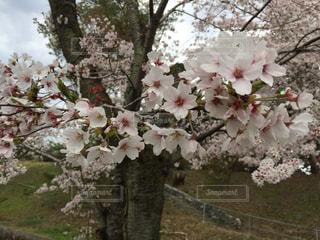 花の写真・画像素材[439411]