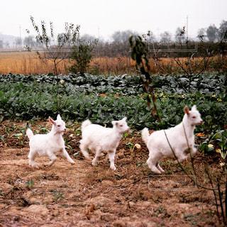 子ヤギの疾走の写真・画像素材[569606]