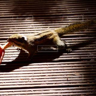 リスの餌付けの写真・画像素材[597042]