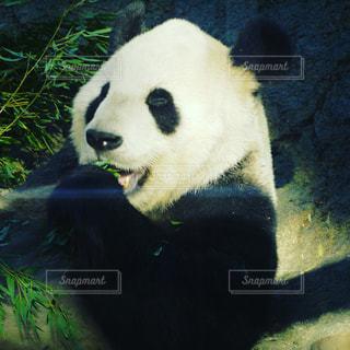 上野動物園のパンダの写真・画像素材[693005]