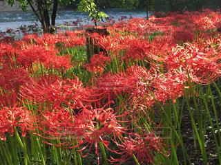 緑の葉と赤い花 - No.748947