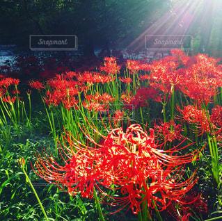 花の前に明るい光の写真・画像素材[748948]