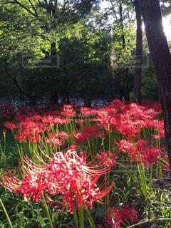 庭の赤い花 - No.748949