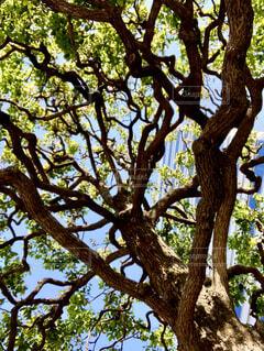 街路樹を見上げての写真・画像素材[4447789]