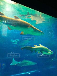 サメの写真・画像素材[392967]