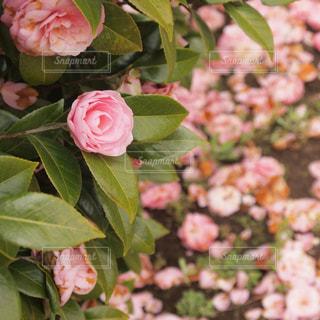 近くの花のアップの写真・画像素材[732372]