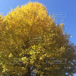 イチョウの木の写真・画像素材[736071]