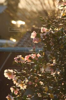 山茶花の写真・画像素材[872561]