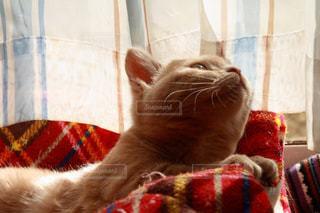 赤い毛布を着て猫の写真・画像素材[959501]