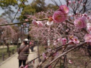 梅の写真・画像素材[1020347]