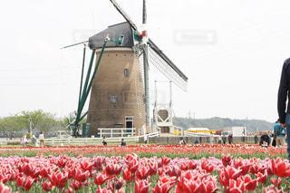 風車とチューリップの写真・画像素材[1125194]
