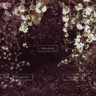 夜桜の写真・画像素材[1711646]