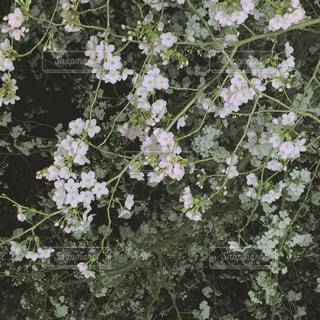 夜桜の写真・画像素材[1711647]