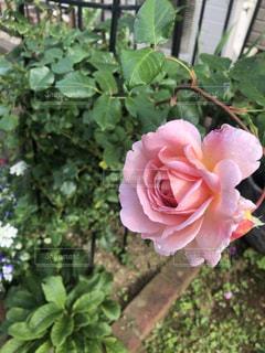 ママの庭のバラの写真・画像素材[3375597]