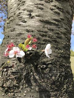 #桜 - No.444336