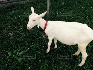ヤギ 牧場 自然 夏 動物 動物園 ペットの写真・画像素材[390346]