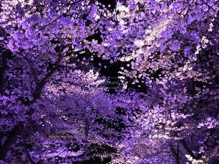 夜桜ライトアップの写真・画像素材[2779778]